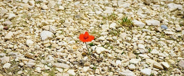 Poppy growing on a rocky site.